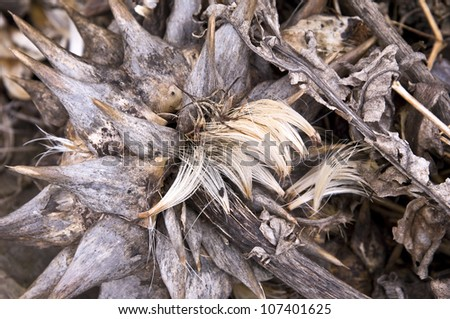 Wilted artichoke plant with seeds on a compost heap