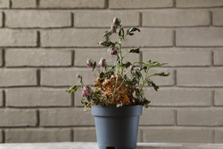 Wilted houseplant in a gray flowerpot. Dry indoor flower on the background of a gray brick wall. A dried flower in a gray pot.