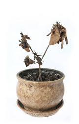 wilted pot plant on white