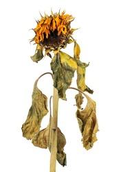 wilted sunflower
