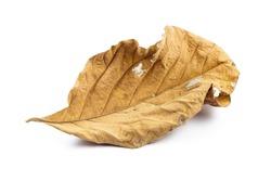 Wilted teak leaf isolated on white background