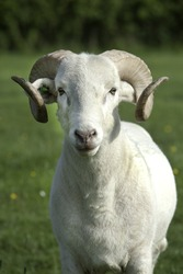 Wiltshire Longhorn ram looking at the camera in green field