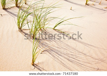 Wind blown grass on fine sand dune