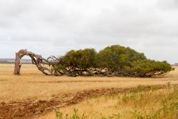 Wind blown Tree, Western Australia