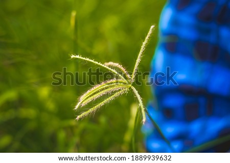 Wind blown wild grass . Flowing green yellow grass flowers at sunset. Tall grass flow with the wind. stock photo