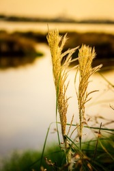 Wind blown wild grass with sunshine. Flowing green yellow grass flowers at sunset. Tall grass flow with the wind in golden sunlight