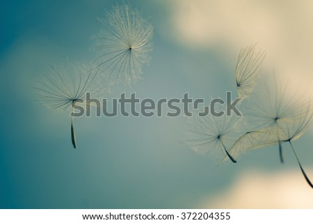 wind blows dandelion seeds in the blue sky, soft focus - Shutterstock ID 372204355