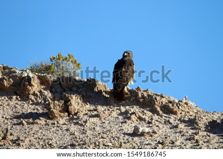 Wind blows the feathers of a Red-tailed Hawk atop a bluff in Lake Mead National Recreation Area in autumn #1549186745