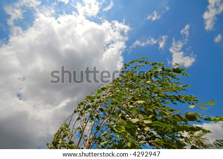 wind has bent green branches of  birch on  background of clouds