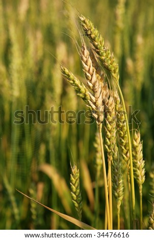 wind in the green wheatfield at middle summer