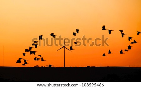 Wind turbine with  Black Cockatoo's in flight at sunset, Australia