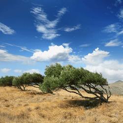 Wind warped olive trees in cretan mountain, Greece