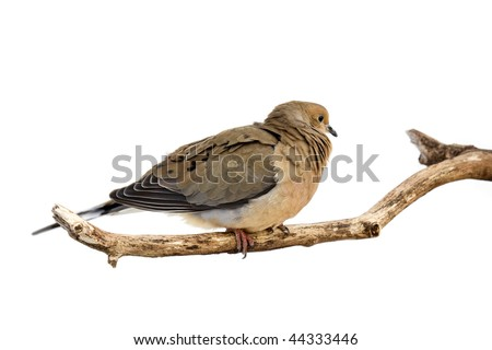 windblown mourning dove tries to stay warm; white background