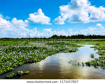 Winding Bayou Through Blooming Water Hyacinths in Louisiana