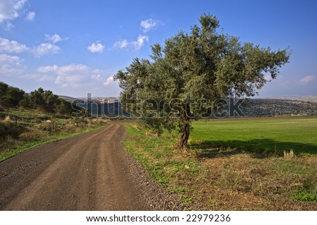 winding dirt road and olive tree in the Galilee, Israel