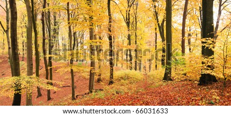 Winding footpath in a yellow beech forest in autumn