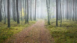 Winding rural road (pathway) through the evergreen forest in a fog at sunrise. Ancient pine trees, green and golden plants, birch close-up. Ecology, autumn, ecotourism, environmental conservation