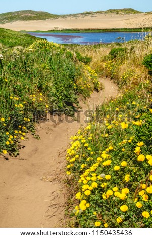 Winding sandy trail with bright yellow California poppies (binomial name: Eschscholzia californica), state flower of California, near Abbotts Lagoon in Point Reyes National Seashore in spring