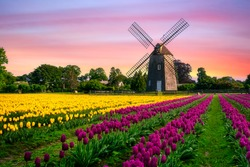 windmill in beautiful color tulips field