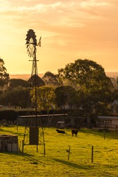 Windmill with grazing cows on dairy farm at sunset in Adelaide Hills, South Australia