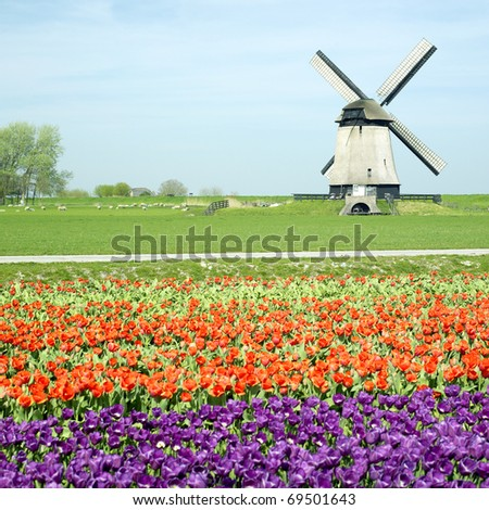 windmill with tulip field near Schermerhorn, Netherlands