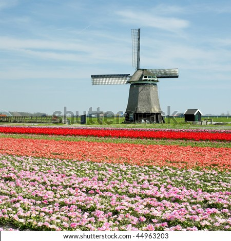 windmill with tulip field near Sint-Maartens-Vlotbrug, Netherlands