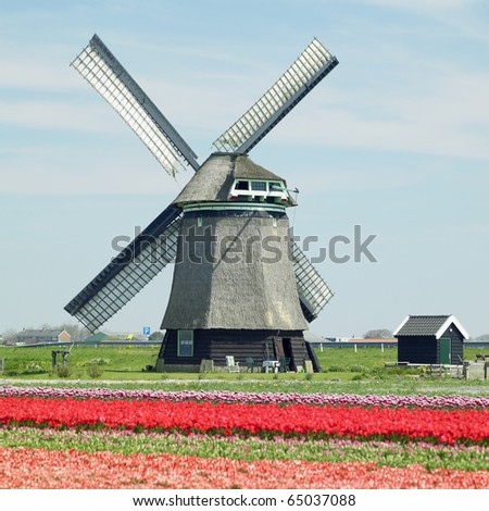 windmill with tulip field near Sint-Maartens-vlotbrug, Netherlands