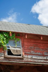 Window of an old abandoned and weathered red barn. Vine growing on the wall and window mesh blowing in the wind.