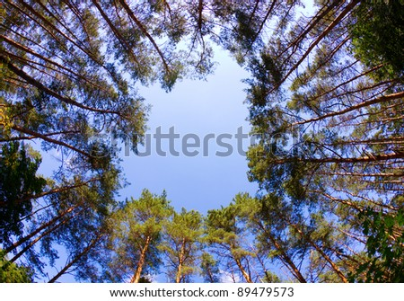 Window of firs, looking up, shot with fisheye lens