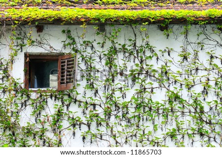 Window on a wall covered with creeper plant