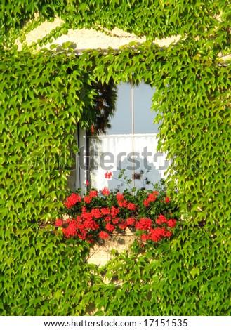 window, pelargonium, ivy