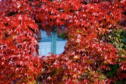 Window surrounded by red Virginia creeper in fall.