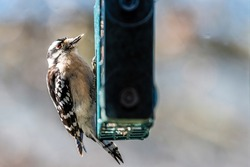 Window view of Downy woodpecker bird animal perching on suet cake feeder cage eating in Virginia with blurry background
