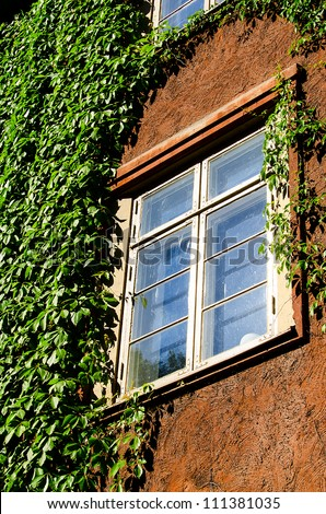Window with green ivy.