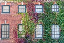 Windows and Virginia Creeper Salisbury Wiltshire UK