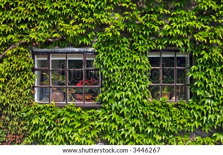 Windows on a wall covered with grapes vine
