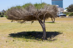 Windswept bent melaleuca tree growing  on Ocean Beach Parklands, Bunbury, Western Australia portrays the constant prevailing strong westerly wind affecting a plant's growth patterns.