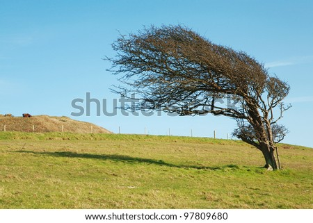 windswept tree at the top of a hill