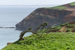 Windswept tree permanently bent by the prevailing winds on a grassy hilltop in the Chatham Islands, New Zealand, with high, sandstone cliffs in the background.