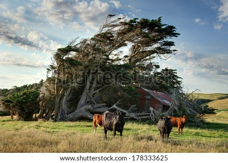 Windswept Tree with bulls Stock fotó ©