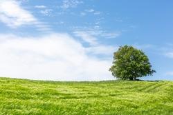 windy weather and green wheat field. single tree
