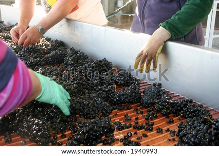 Wine grapes being sorted on their way to be crushed