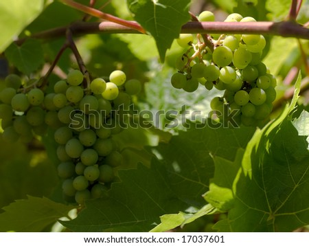 Wine grapes closeup in French Vineyard