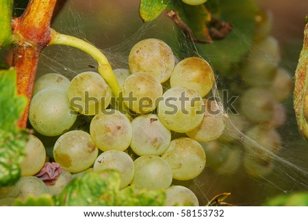 Wine grapes hanging in a winery vineyard in the great grape growing region of the Umpqua Valley near Roseburg Oregon.