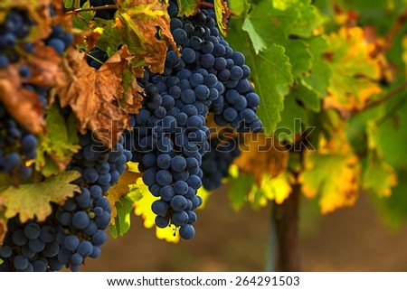 Wine grapes. Merlot is a dark blue-colored wine grape variety, that is used as both a blending grape and for varietal wines.The name Merlot is thought to be a diminutive of merle,french name of a bird Foto d'archivio ©
