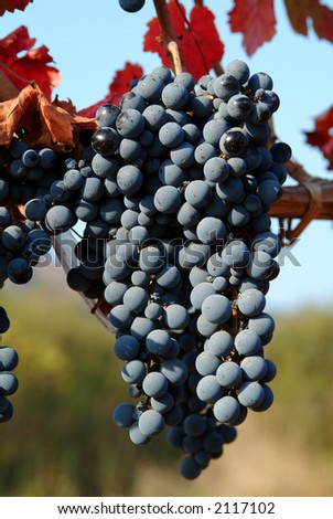 wine grapes on a sunny day
