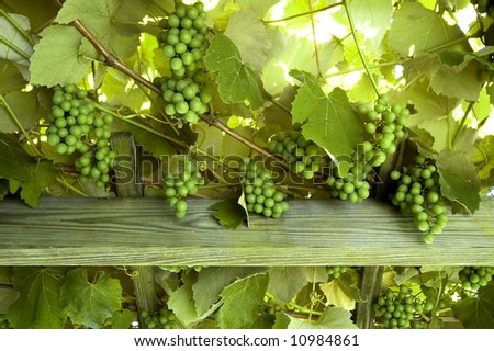 Wine Grapes On a Trellis