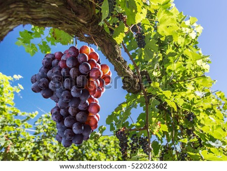 Wine grapes on the vine. Sunny vineyard on the background.