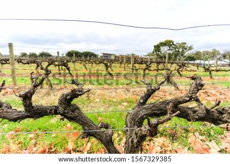 Wine grapevine farm vineyard during winter season, no grape, no leaf #1567329385