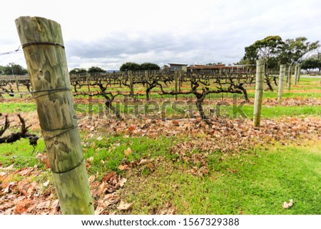 Wine grapevine farm vineyard during winter season, no grape, no leaf #1567329388